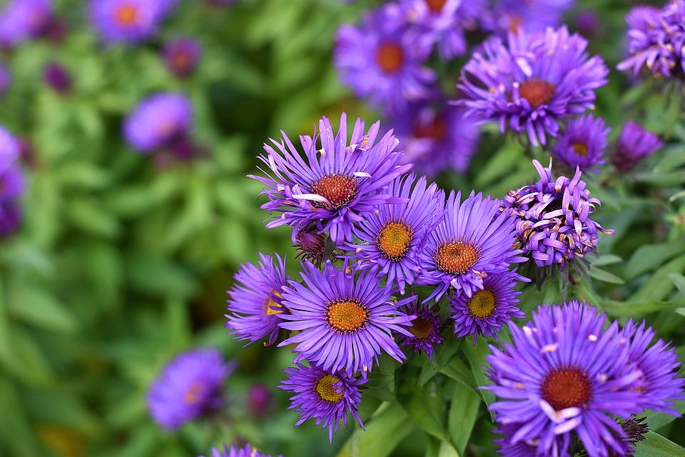 Cele Mai Frumoase Flori De Toamna Pentru Gradina Ta Cine Cauta